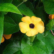 Black Eyed Susan Vine - Sow True Seed