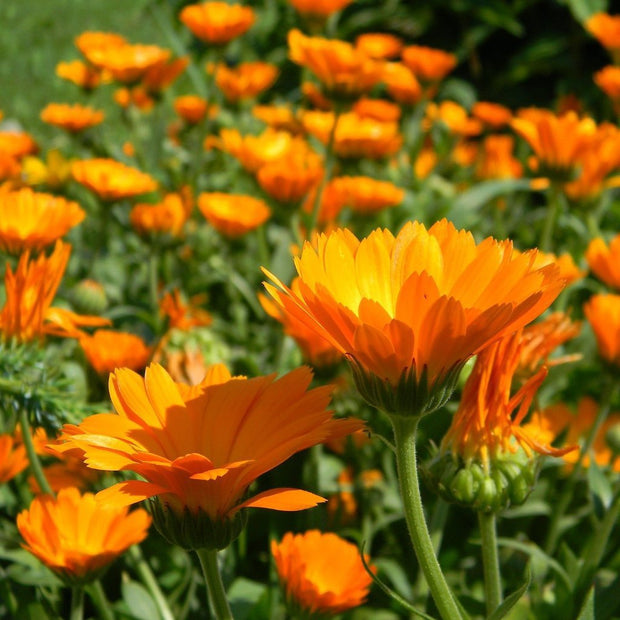 Calendula - Erfurter Orange - Sow True Seed
