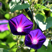 Grandpa Ott's Heirloom Purple Morning Glory