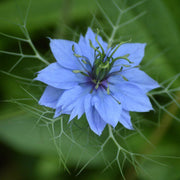 Nigella - Love in a Mist - Sow True Seed