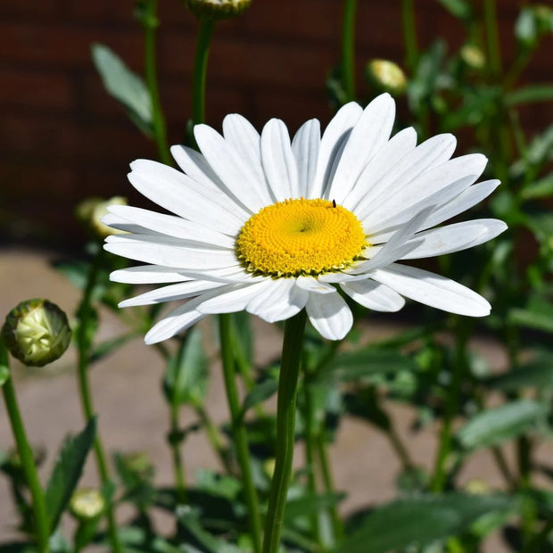English White Daisy