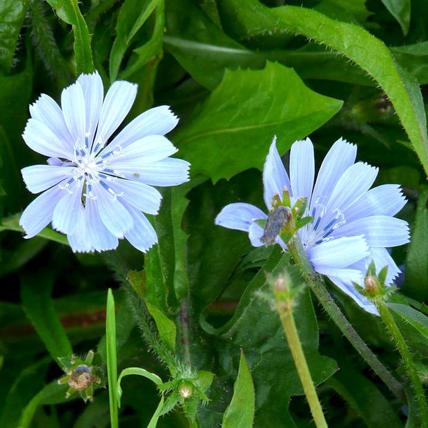 Catalogna Special Dandelion Chicory Leaves