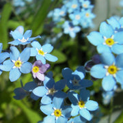 Flower Seed - Forget-me-not - Sow True Seed