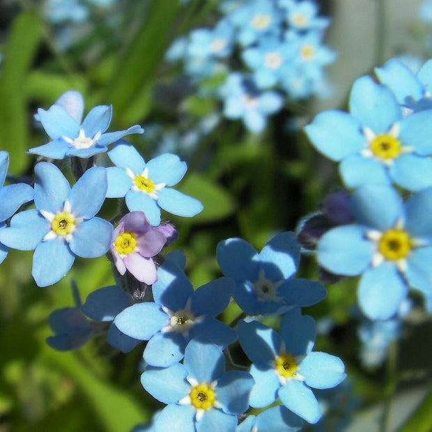 Flower - Forget-me-not - Sow True Seed