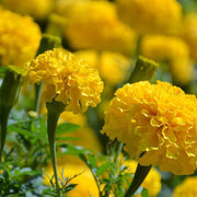 Marigold seeds - Crackerjack : Tall fern-like leaves produce cheery yellow flowers.