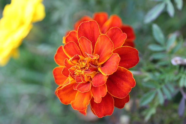 Marigold seed - Sparky Mix : Wide and wavy orange and yellow petals.