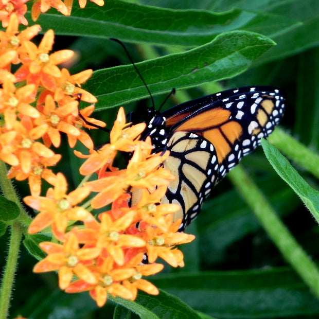 Milkweed seed- Butterfly : Dark green leaves and orange flowers.