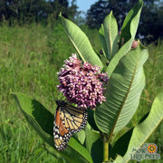 Milkweed Seed - Common - Sow True Seed