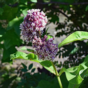 Milkweed - Common - Sow True Seed