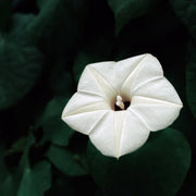 White Moonflower fully bloomed