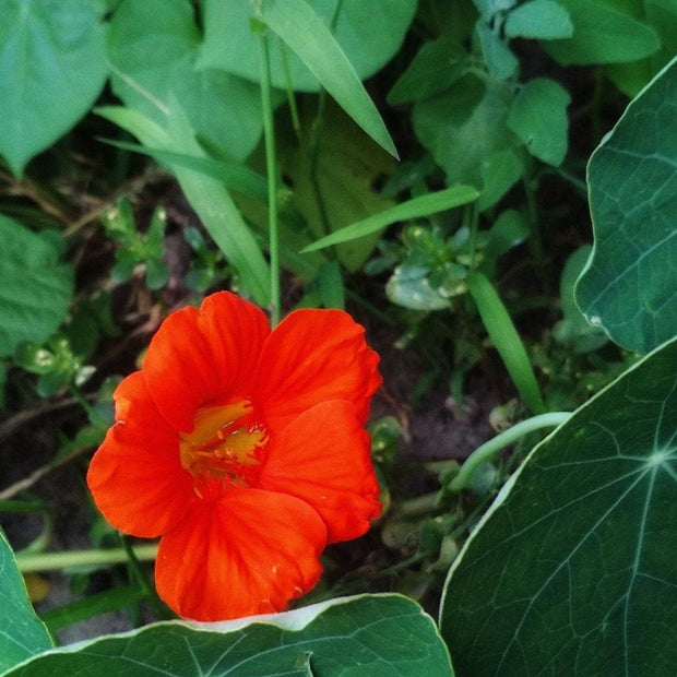 Nasturtium - Empress of India - Sow True Seed