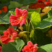 Nasturtium - Tall Trailing Mix - Sow True Seed