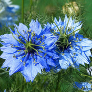 Nigella seed - Love in a Mist : Pale blue flowers with ferny foliage.