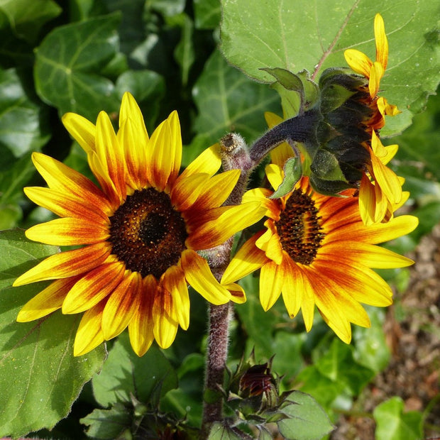 Organic Sunflower seed - Autumn Beauty : Late blooming, multi-headed, two-tone flowers.