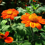 Tithonia - Mexican Sunflower - Sow True Seed