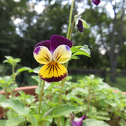Viola seed - Johnny Jump-Up : Tiny edible flowers enjoy a lightly shaded garden corner.