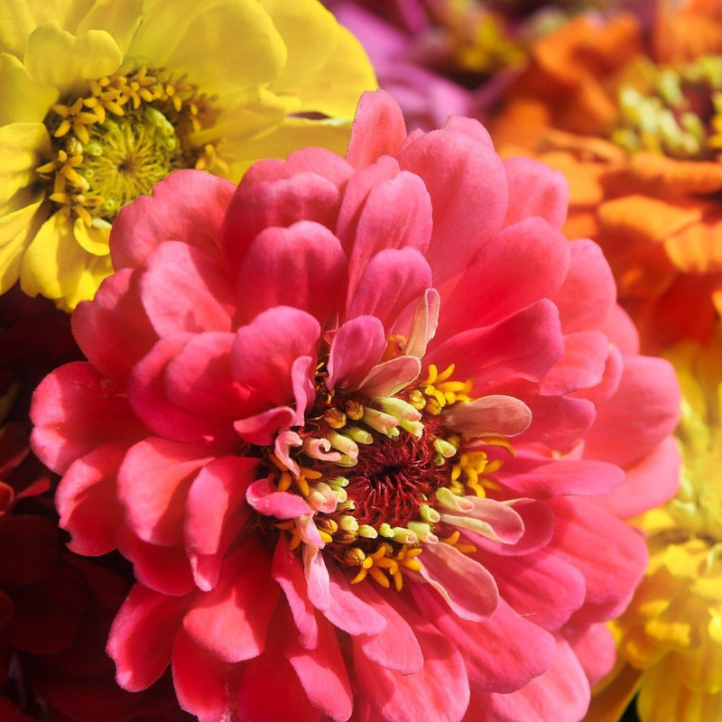Zinnia Seed California Giants Mix Sow True Seed