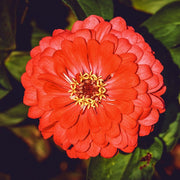 Zinnia - Cherry Queen - Sow True Seed