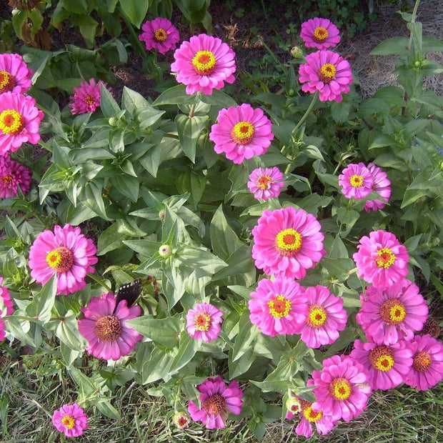 Zinnia - Purple Prince