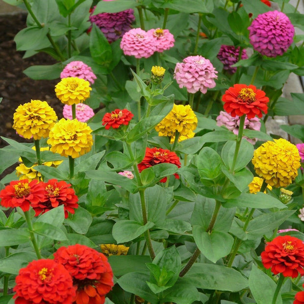 Zinnia - State Fair Mix - Sow True Seed