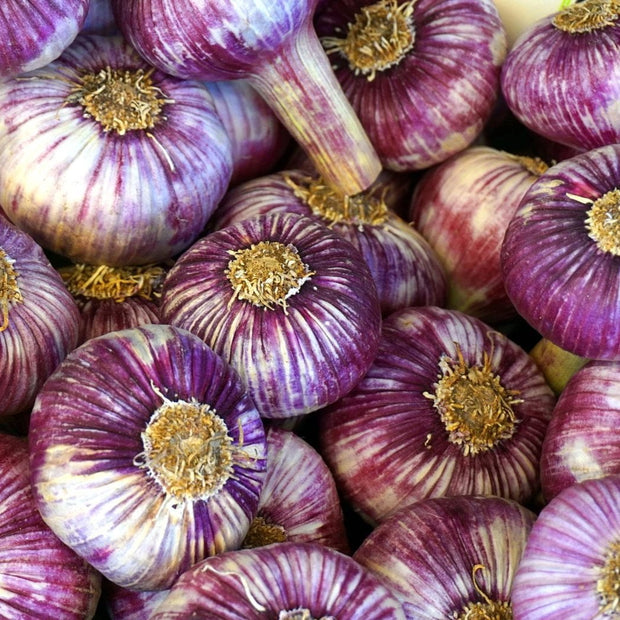 Hardneck Garlic - Bavarian Purple - Sow True Seed