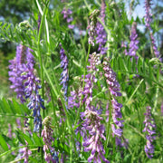 Cover Crop - Hairy Vetch, ORGANIC - Sow True Seed