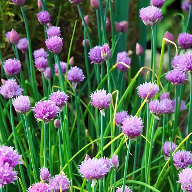 Herb - Chives, ORGANIC - Sow True Seed