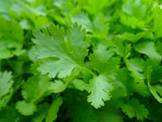 Herb - Parsley, Italian Giant, ORGANIC