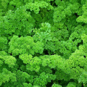Organic Herb seed - Forest Green Parsley : Deeply-curled dark green leaves, vigorous growers.
