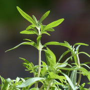 Herb - Summer Savory - Sow True Seed