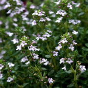 Herb - Thyme - English, ORGANIC - Sow True Seed