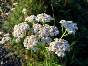 Herb - Yarrow, White