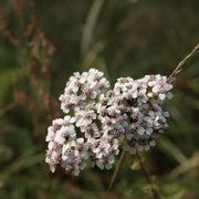 Herb - Yarrow, White - Sow True Seed