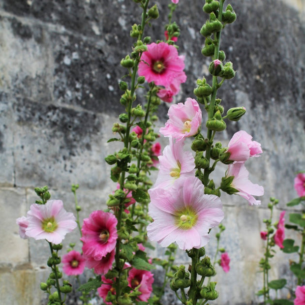 Hollyhock - Outhouse, ORGANIC