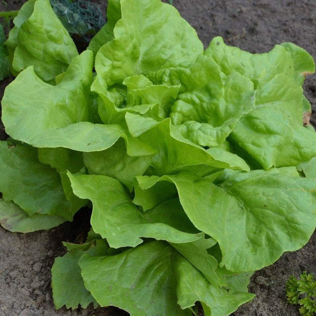 Lettuce Seeds | Arianna | Organic | Sow True Seed |