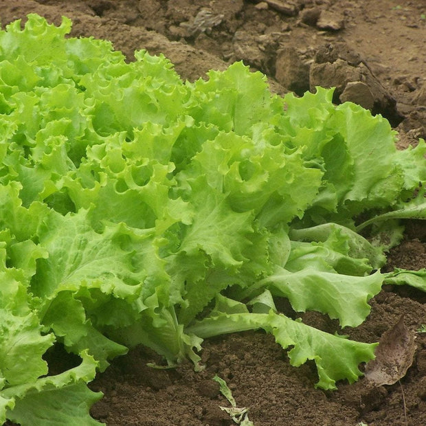 Heirloom organic lettuce seed, Black seeded simpson lettuce seed