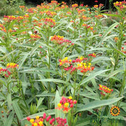 Milkweed - Bloodflower - Sow True Seed