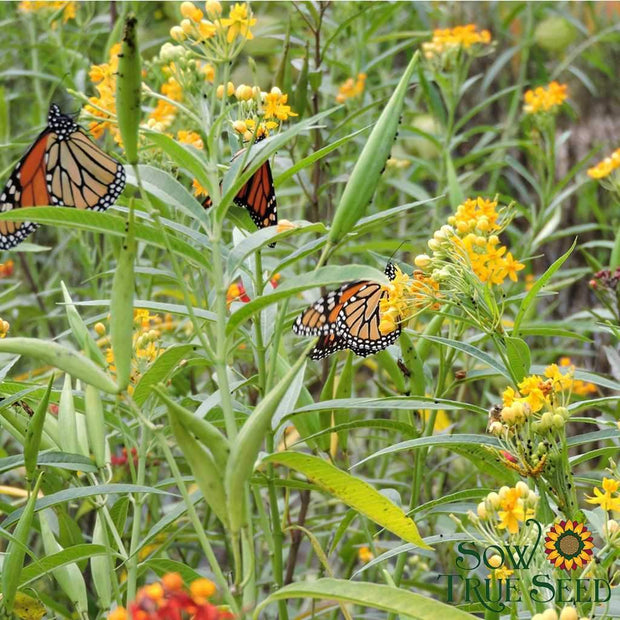 Milkweed seed - Bloodflower : Butterflies love this showy plant !
