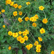 Marigold seed - Nematocidal : Highest amount of alpha-terthienyl in any marigold.