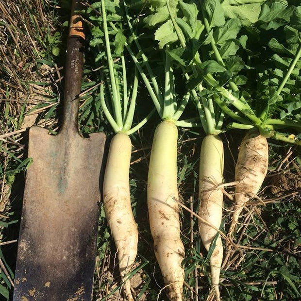 Cover Crop - Nitro Radish - Sow True Seed