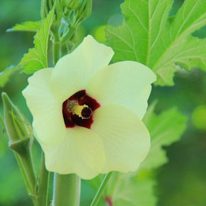 Okra seeds- Aunt Hettie's Red: Rare heirloom glossy pods grow 4-5' high.