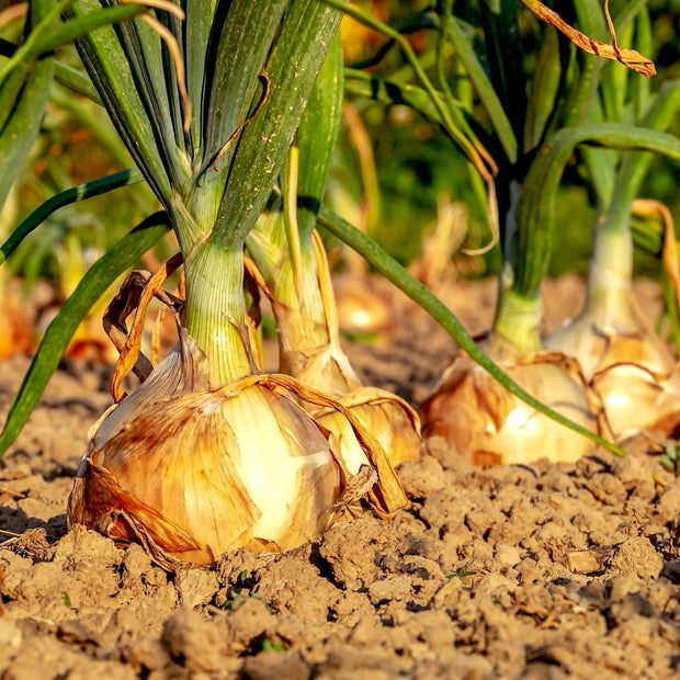 Organic onion seeds- Texas Early Grano: Heirloom sweet onion grows well in the South when over-wintered.