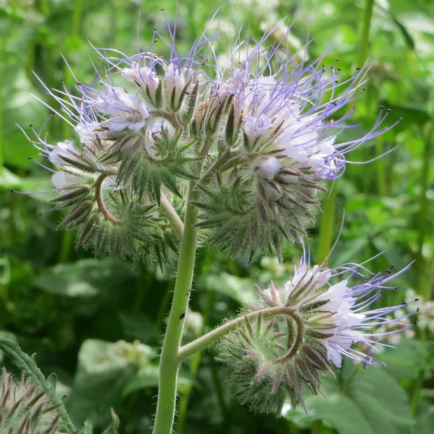 Phacelia seed- Lacey Phacelia: Beneficial as cover crop or ornamental.