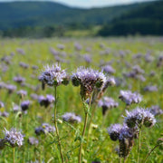 Cover Crop - Phacelia - Sow True Seed