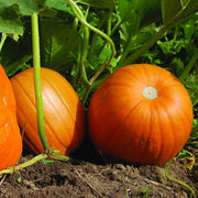 Pumpkin - Connecticut Field - Sow True Seed