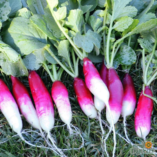 "Organic Radish seeds - French Breakfast : Heirloom mild flavor with 3"" long red roots with white tips."