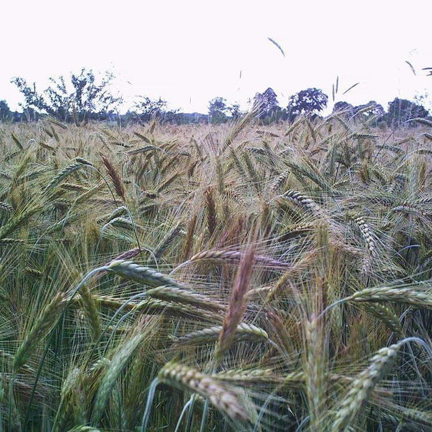 Cover Crop - Winter Rye, ORGANIC - Sow True Seed