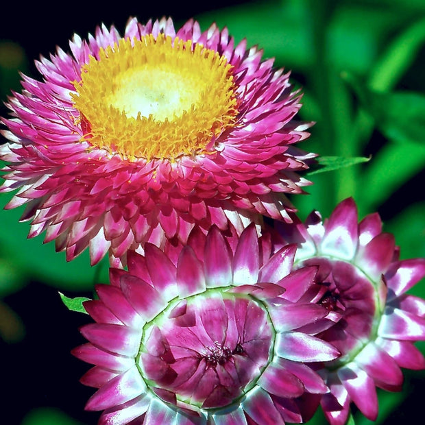Strawflower - Tall Mixed - Sow True Seed