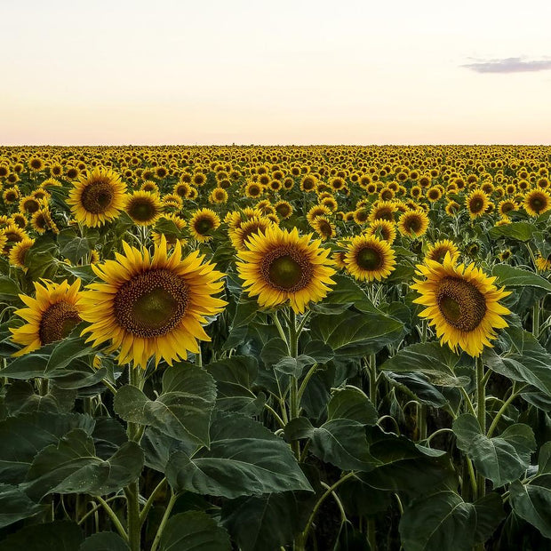 Cover Crop - Oilseed Sunflower - Sow True Seed