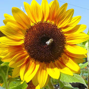 Sunflower - Autumn Beauty, ORGANIC - Sow True Seed